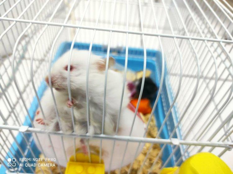 Cara menjinakkan hamster, sebaiknya dilakukan saat kondisinya begini